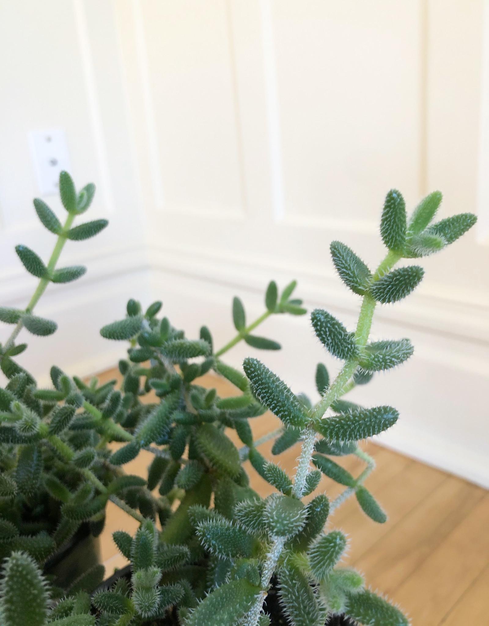 Curio Delosperma Echinatum Pickle Plant