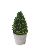 Coned Shaped Boxwood in Pot