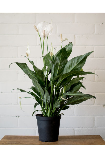 Spathiphyllum Domino - Peace Lily