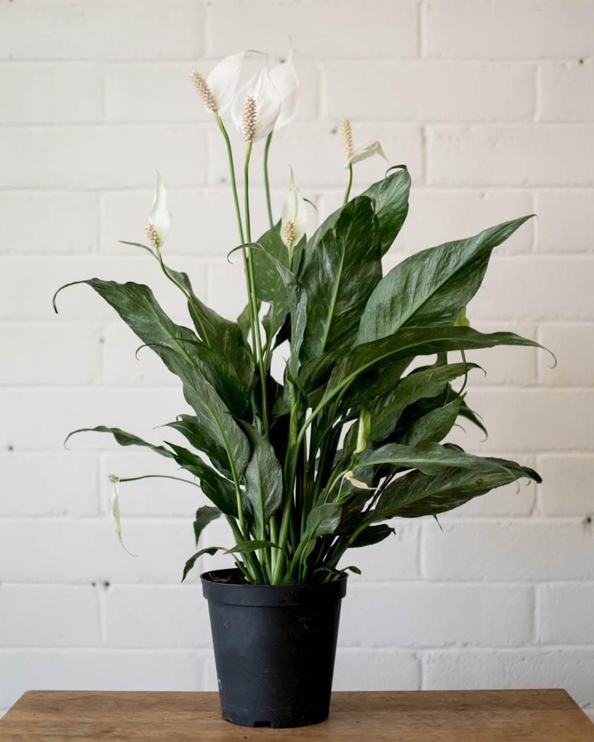 Spathiphyllum Domino - Peace Lily-1