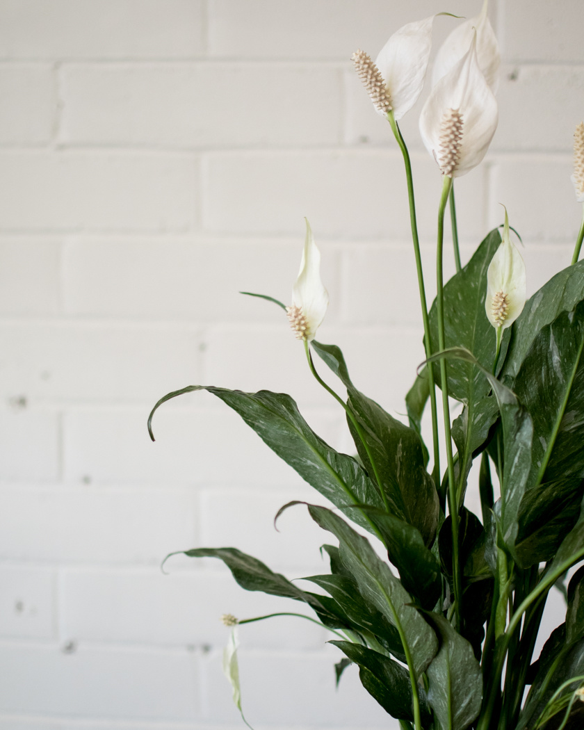 Spathiphyllum Domino - Peace Lily-2