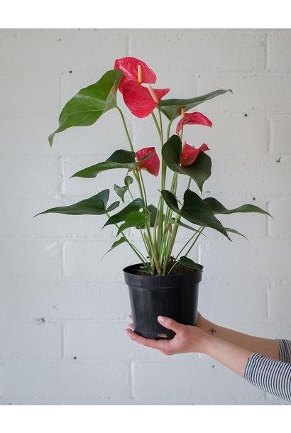 Anthurium andreanum - Pink