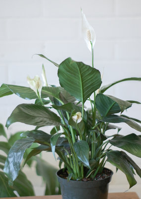 Arums Spathiphyllum - Peace Lily