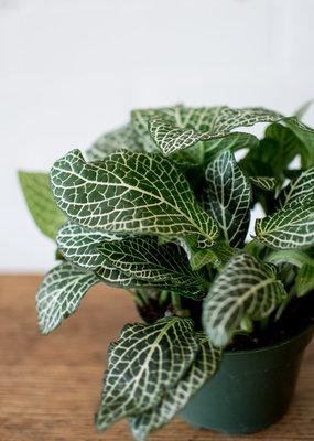 Acanthaceae Fittonia albivenis - Nerve Plant - White