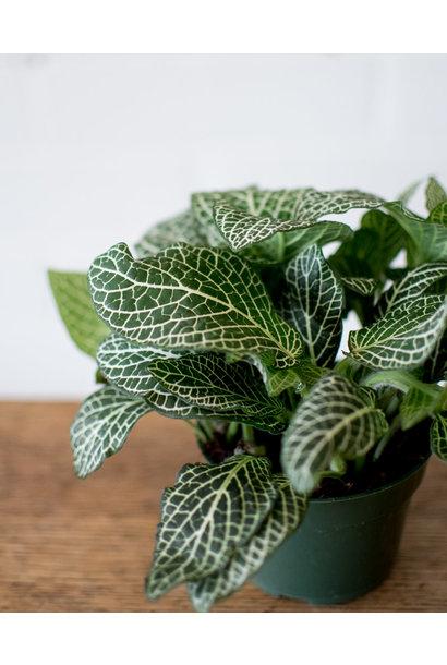 Fittonia - Nerve Plant - White