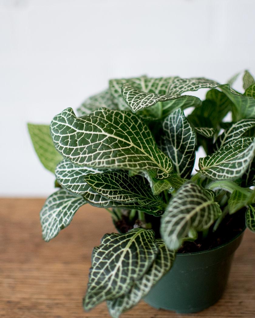 Fittonia - Nerve Plant - White-1