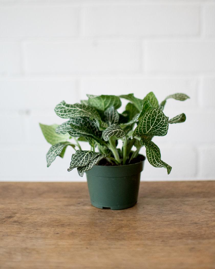 Fittonia - Nerve Plant - White-2