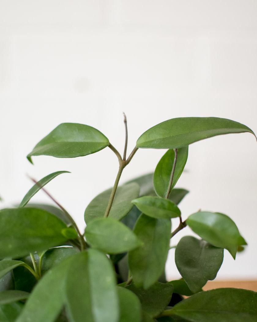 Hoya carnosa - Jade - Wax Plant-1
