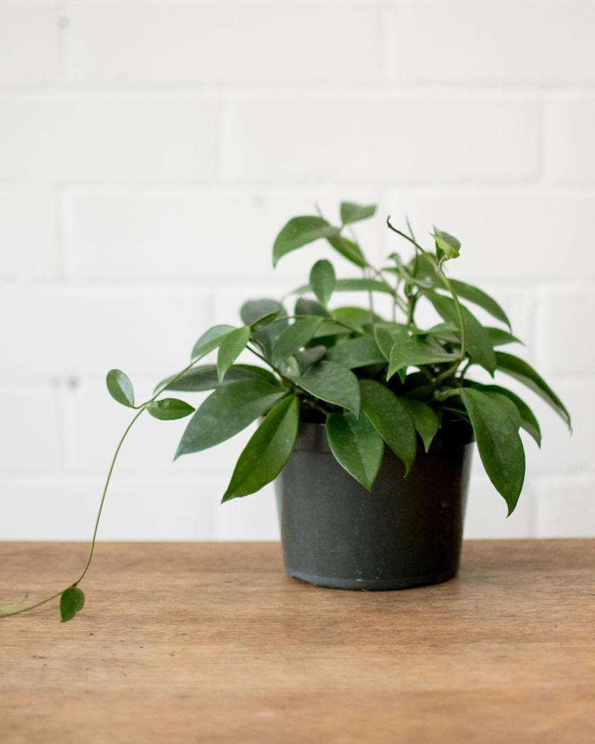 Hoya carnosa - Jade - Wax Plant-2