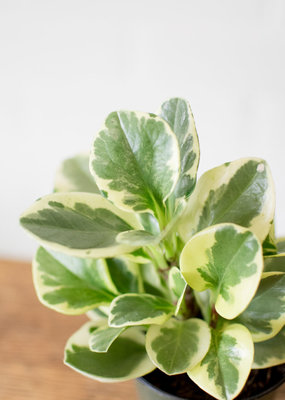 Piperaceae Peperomia obtusifolia - Variegated