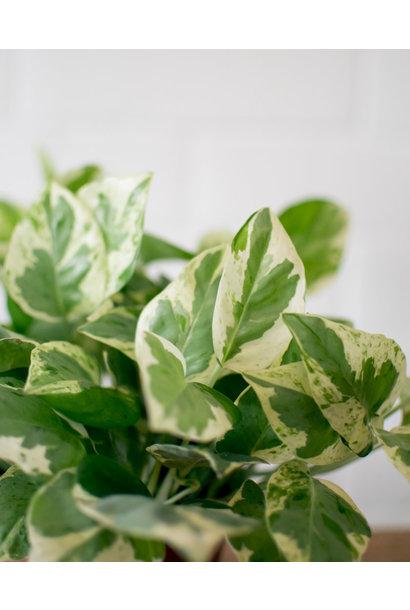 Epipremnum aureum - Pearl & Jade