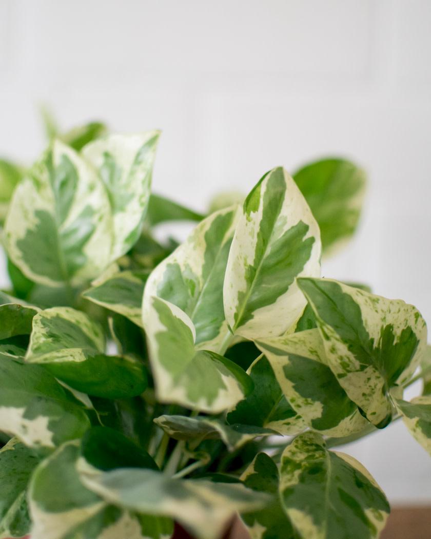 Epipremnum aureum - Pearl & Jade-1