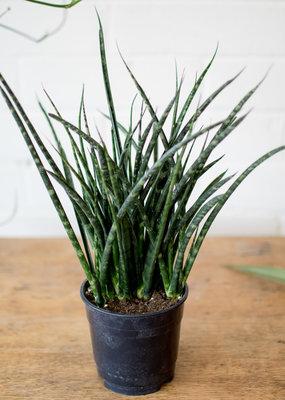 Asparagaceae Sansevieria Fernwood