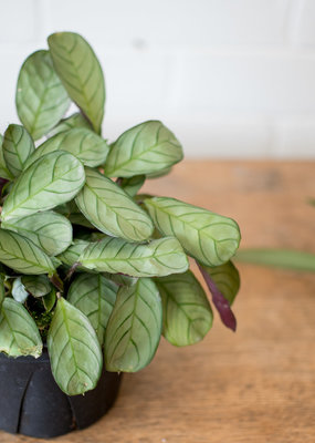 Marantaceae Ctenanthe burle-marxii - Fishbone Maranta
