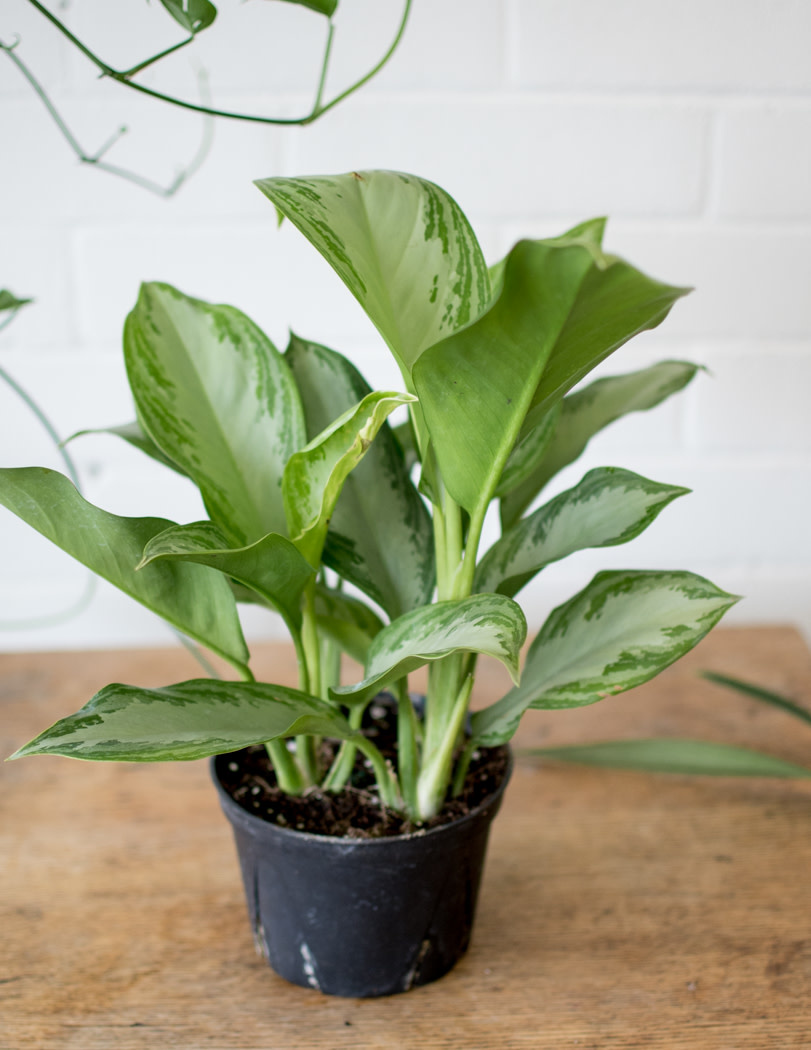 Aglaonema - Chinese Evergreen - Silver Bay-1