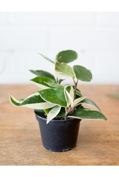 Hoya carnosa variegata - Wax plant