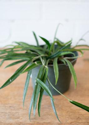 Apocynaceae Hoya kentiana