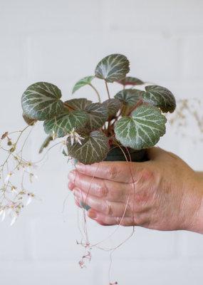 Saxifragaceae Saxifraga stolonifera- Strawberry Begonia