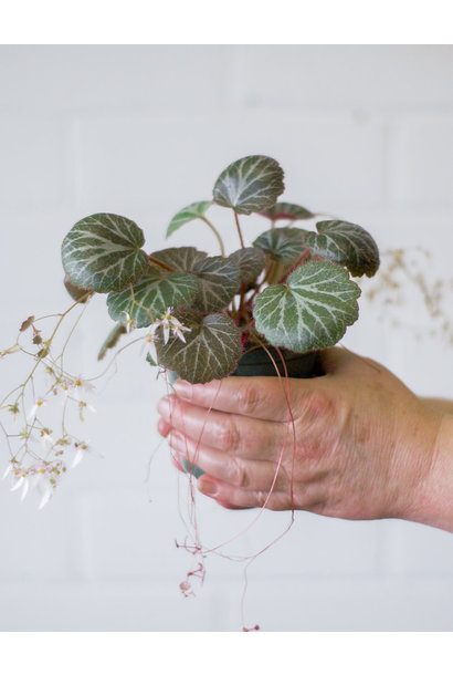 Saxifraga stolonifera- Strawberry Begonia