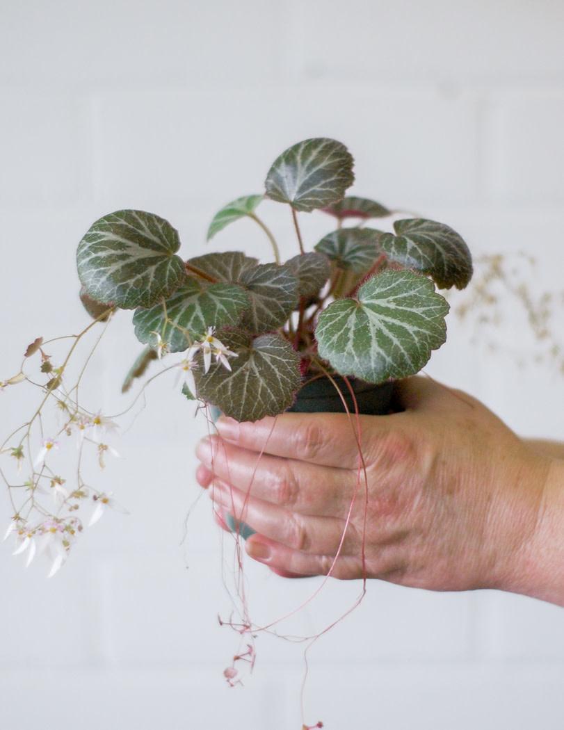 Saxifraga stolonifera- Strawberry Begonia-1