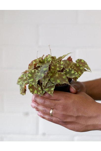 Begonia rhizomatous hybrid - Kit kat Green