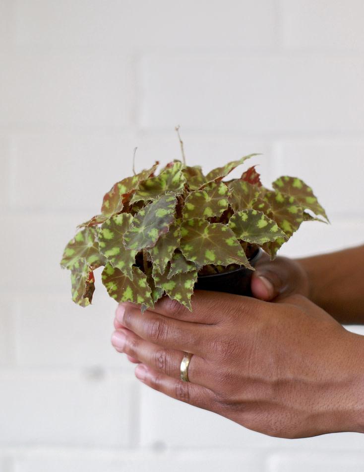 Begonia rhizomatous hybrid - Kit kat Green-1