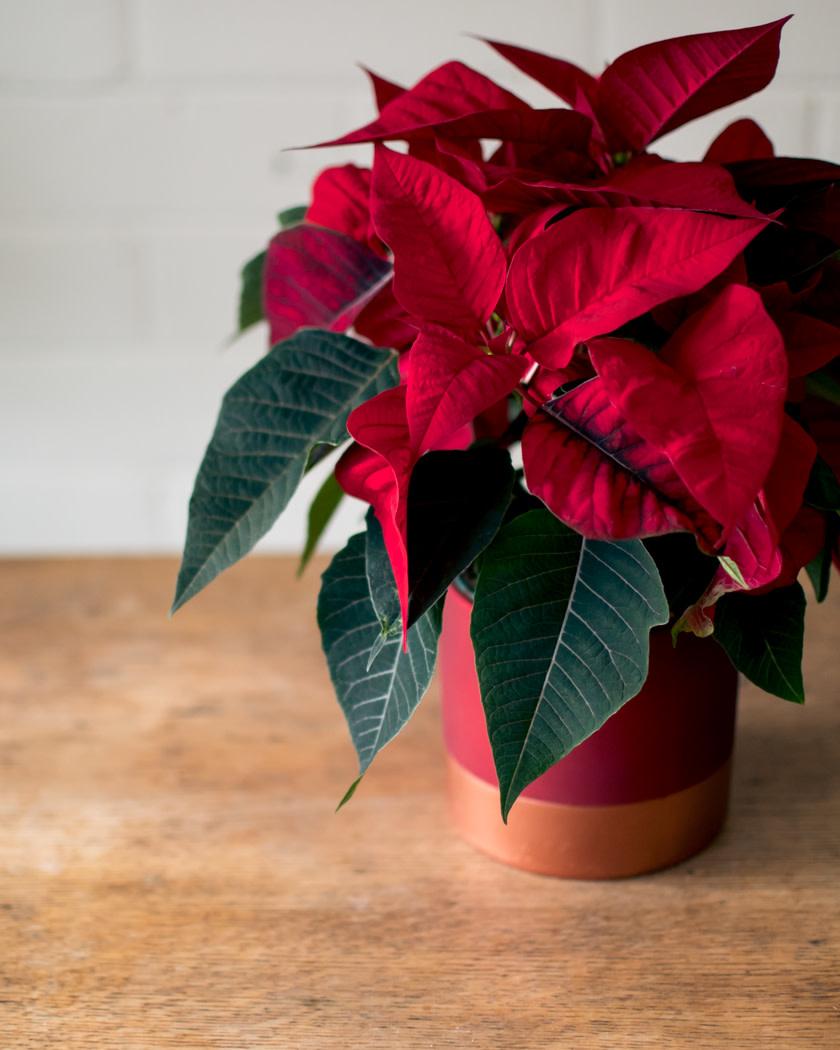 Poinsettia - Rose Gold Planter-1