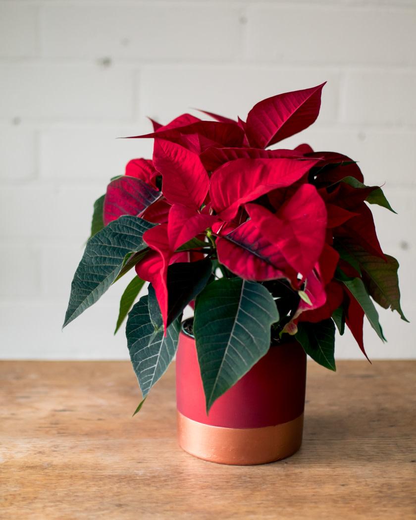 Poinsettia - Rose Gold Planter-2