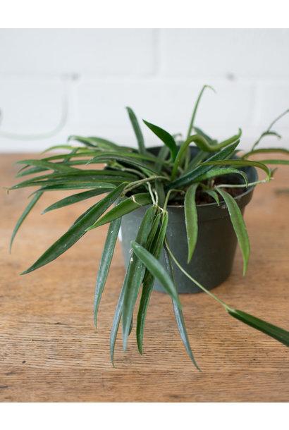 Plant Profile - Hoya - January 26