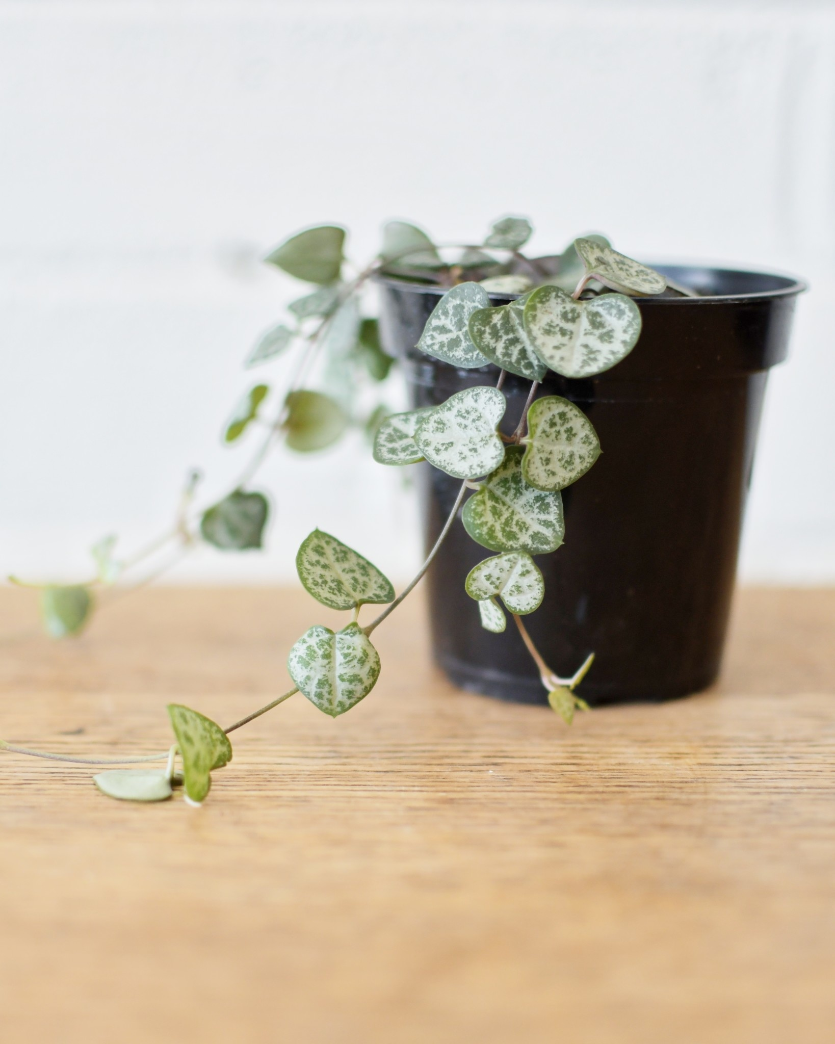Ceropegia woodii - String of Hearts-1