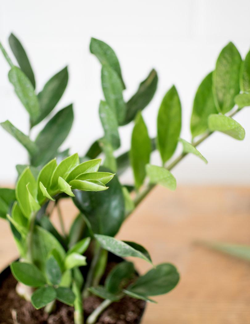 Zamioculcas zamiifolia-2