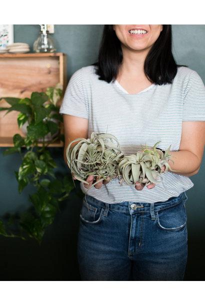 Plant Brunch - Tillandsia - February 23