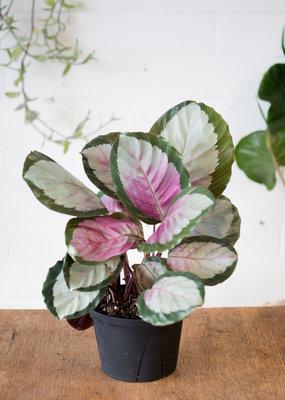 Marantaceae Calathea Corona
