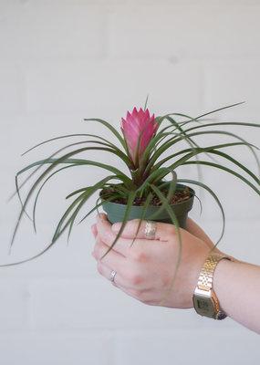 Tillandsia/ Air plant Tillandsia cyanea - Pink Quill