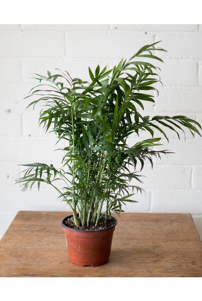 Chamaedorea elegans - Parlour Palm