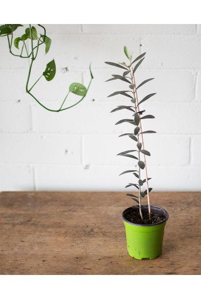 Olea europaea - Olive tree