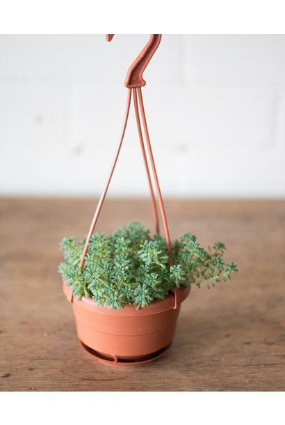Sedum dasyphyllum - Stonecrop