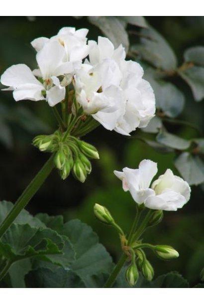 Huile Essentielle - Geranium Rosat Biologique