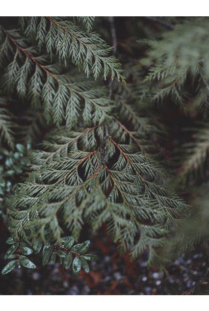 Essential OIl - Organic Atlas Cedar