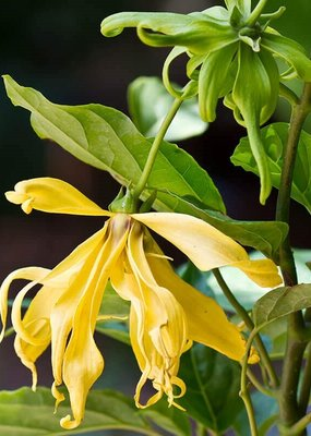 Zayat Aroma Essential Oil - Ylang Ylang
