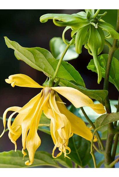 Essential Oil - Organic Ylang Ylang