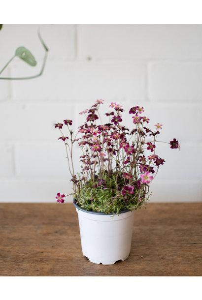 "Saxifraga × arendsii 4"""