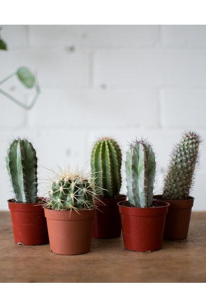 """Surprise Cactus Duo - 3"""""""