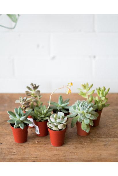 """Surprise Succulent Trio - 1.5"""""""