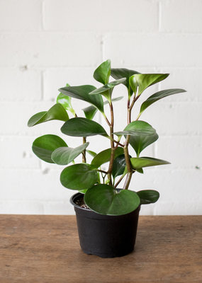 Peperomia Peperomia obtusifolia - Baby Rubber Plant
