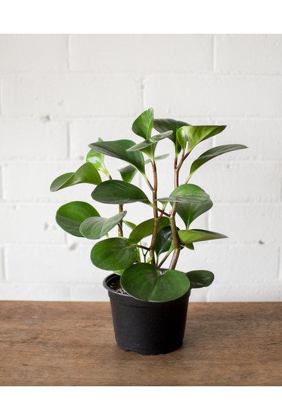 Peperomia obtusifolia - Baby Rubber Plant