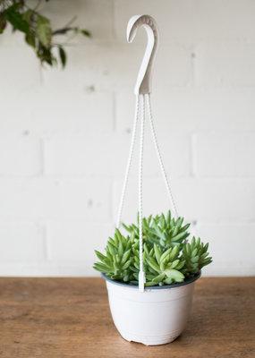 Succulent Sedum morganianum  - Burro tail