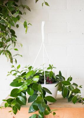 Gesneriaceae Aeschynanthus - Lipstick Plant