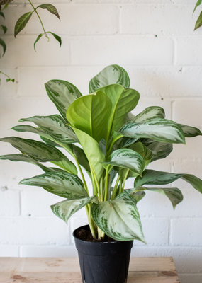 Arums Aglaonema -  Silver Bay