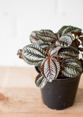 Urticaceae Pilea spruceana 'Norfolk'
